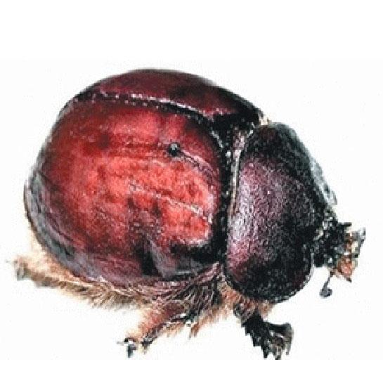cochineal böceği, türleri ve Özellikleri - bocek.gen.tr